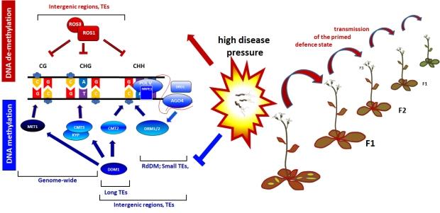 epigenetictransmissionofpriming